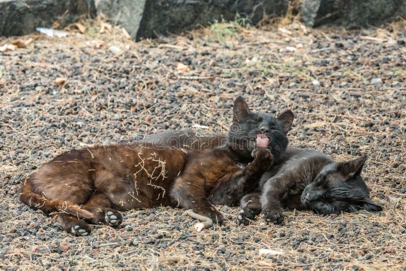 Due gatti selvaggi che si divertono vicino alla spiaggia di Caleta nell'isola di Gomera della La Gatto femminile che lecca zampa, fotografia stock libera da diritti