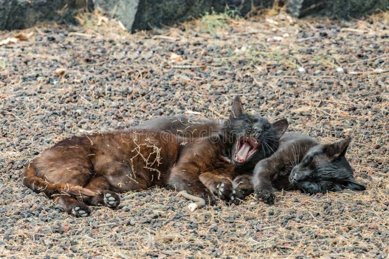 Due gatti selvaggi che si divertono vicino alla spiaggia di Caleta nell'isola di Gomera della La Sbadigli pacificati del gatto do fotografia stock