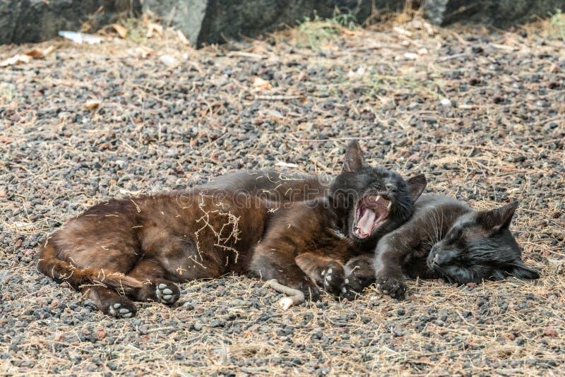 Due gatti selvaggi che si divertono vicino alla spiaggia di Caleta nell'isola di Gomera della La Sbadigli pacificati del gatto do fotografie stock libere da diritti