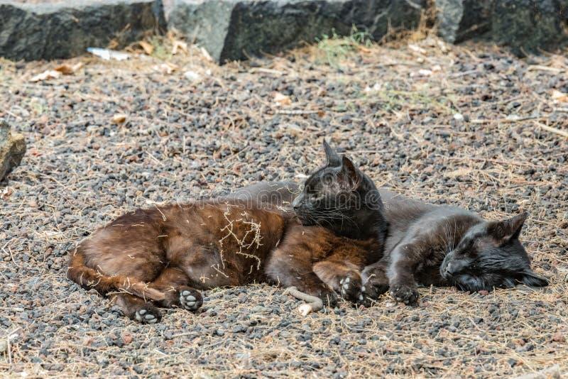 Due gatti selvaggi che si divertono vicino alla spiaggia di Caleta nell'isola di Gomera della La Sonni delle coppie dolce, prende fotografia stock