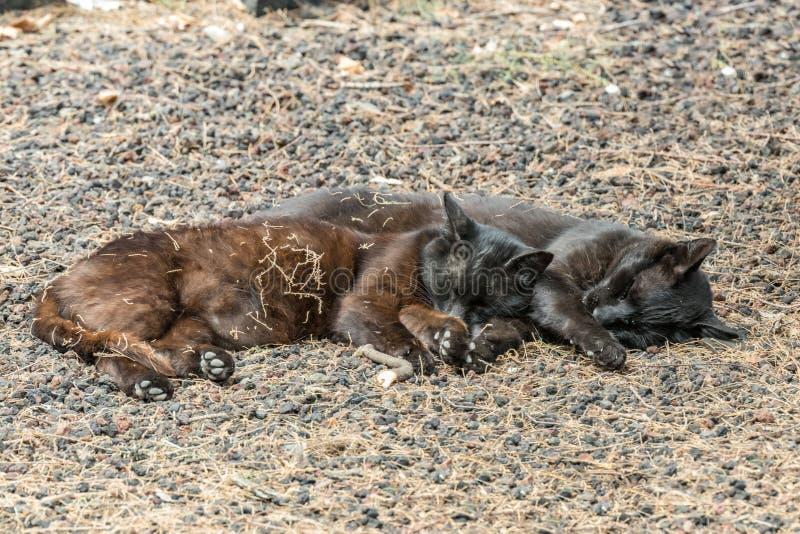 Due gatti selvaggi che si divertono vicino alla spiaggia di Caleta nell'isola di Gomera della La Sonni delle coppie dolce, prende fotografie stock