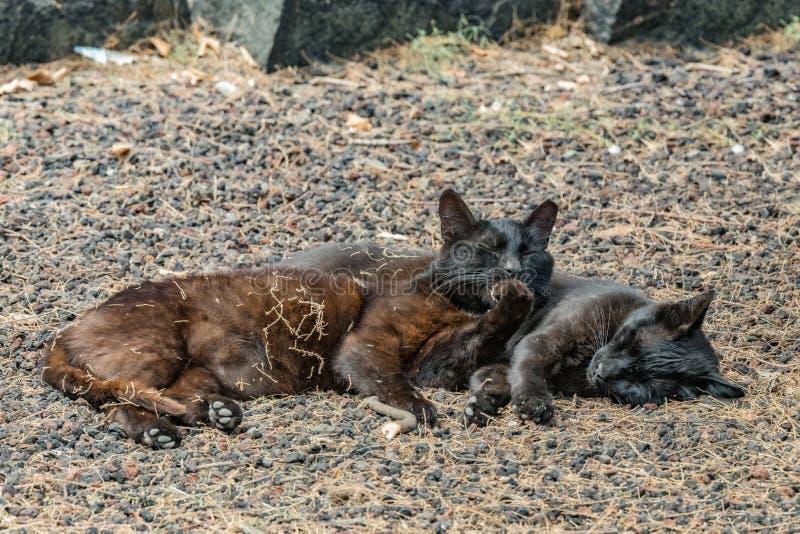 Due gatti selvaggi che si divertono vicino alla spiaggia di Caleta nell'isola di Gomera della La Sonni delle coppie dolce, prende fotografia stock libera da diritti