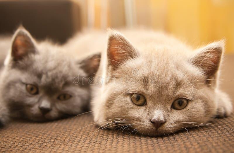 Due gattini britannici immagine stock libera da diritti