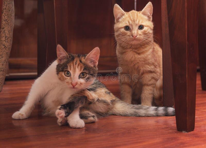Due gattini che si siedono sul pavimento fotografia stock libera da diritti