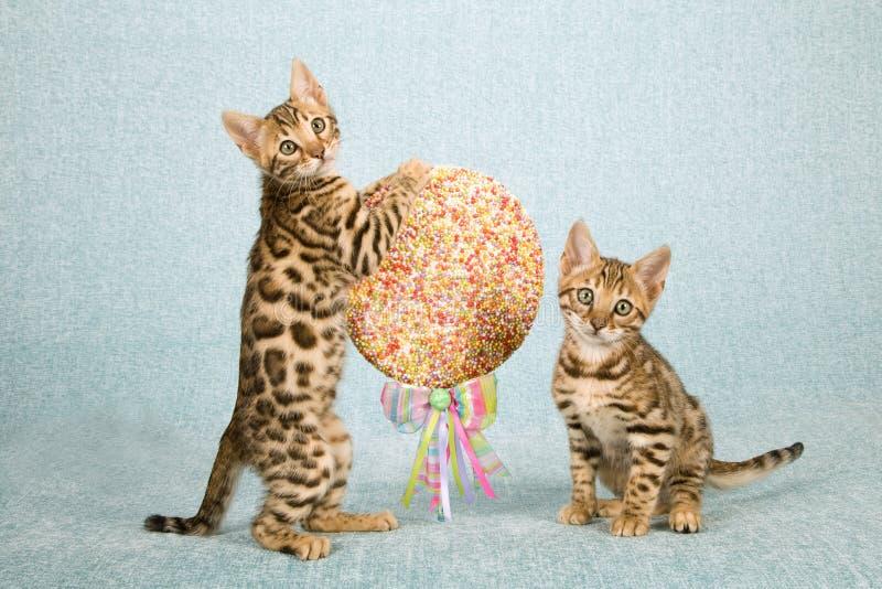 Due gattini del Bengala con un lecca lecca enorme schioccano la caramella decorata con il nastro e l'arco fotografie stock