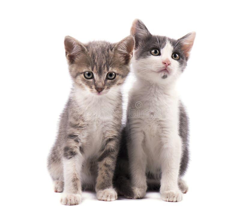 Due gattini grigi svegli isolati su fondo bianco fotografie stock libere da diritti