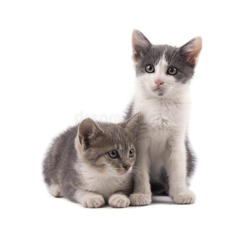 Due gattini grigi svegli isolati su fondo bianco fotografia stock