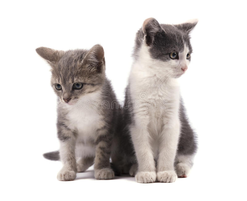 Due gattini grigi svegli isolati su fondo bianco fotografie stock