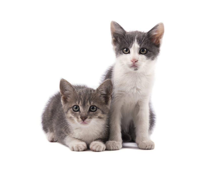 Due gattini grigi svegli isolati su fondo bianco immagine stock