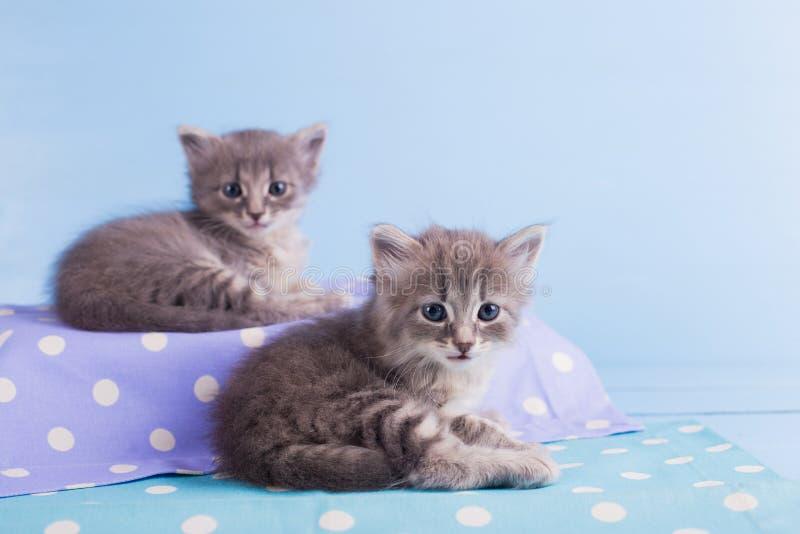 Due gattini simili a pelliccia grigi svegli che si trovano sul tessuto blu macchiato che esamina macchina fotografica fotografia stock