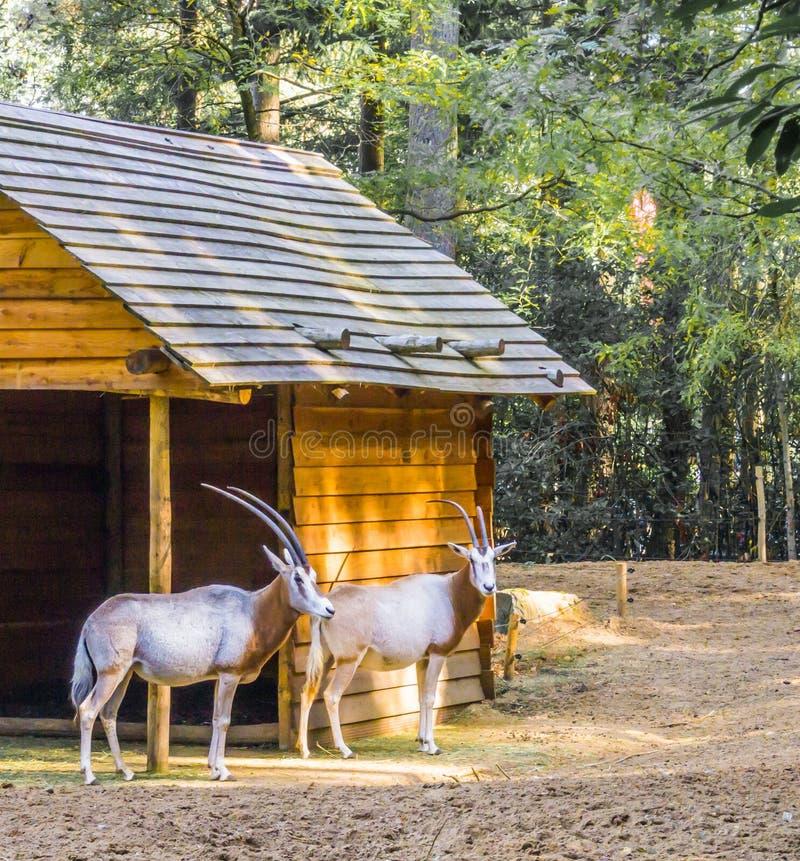 Due gazzelle con i corni lunghi che stanno insieme alle specie rare di una cabina immagini stock