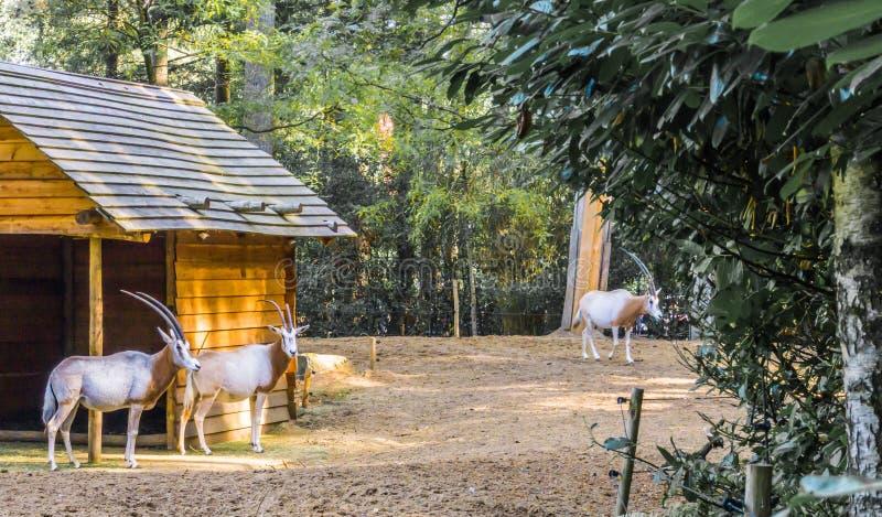 Due gazzelle con i corni lunghi ed una nei precedenti in un paesaggio della foresta immagine stock libera da diritti