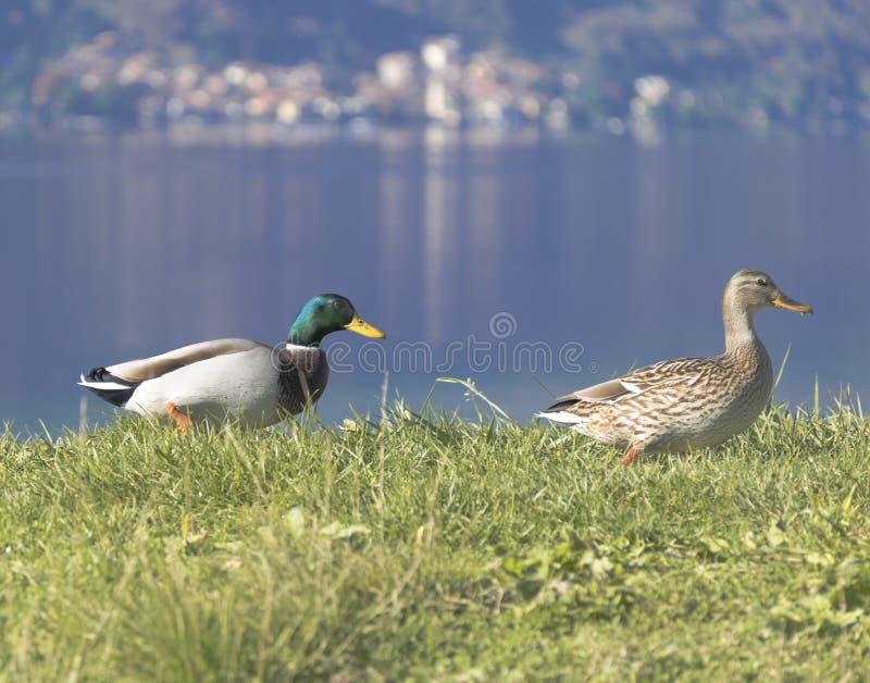 Due germano reale Duck Drake immagine stock