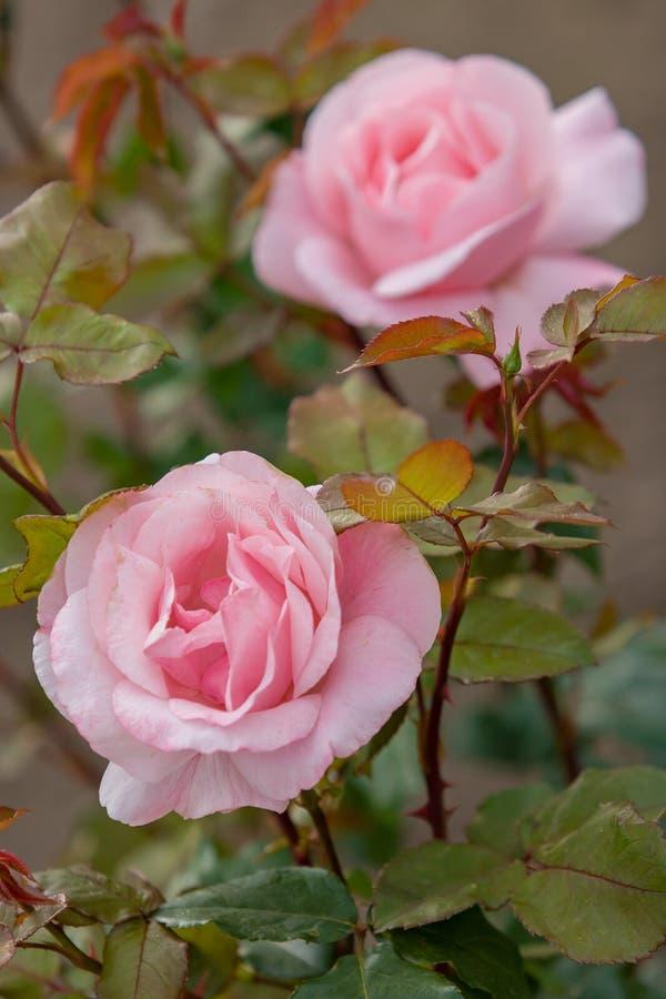Due germogli delle rose rosa dei fiori delicati su un cespuglio Le foglie ed i gambi sono rossastri immagini stock