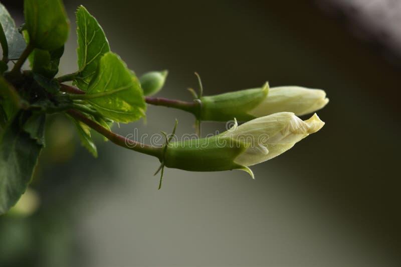 Due germogli di fiore bianchi dell'ibisco fotografia stock libera da diritti