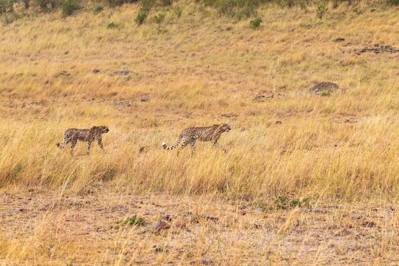 Due ghepardi africani nella ricerca Masai Mara Il Kenia, Africa fotografia stock libera da diritti