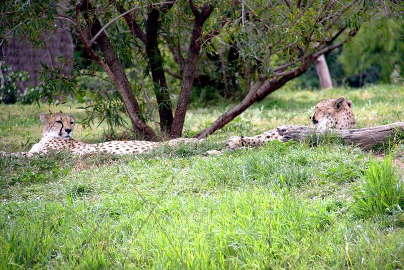 Due ghepardi che riposano sotto un albero immagine stock
