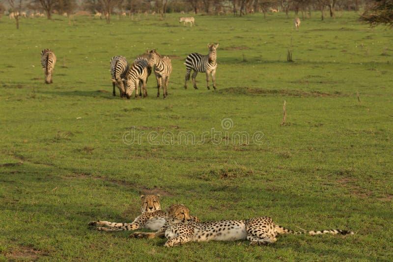Due ghepardi che riposano sui pascoli fotografia stock