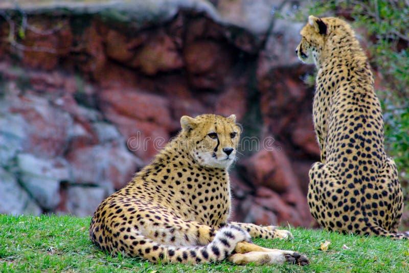 Due ghepardi che si siedono insieme Un ghepardo sta indicando mentre l'altro si siede la guardia immagine stock