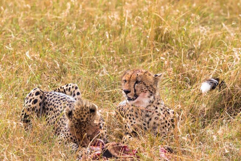 Due ghepardi mangiano la preda Masai Mara, Kenia fotografie stock