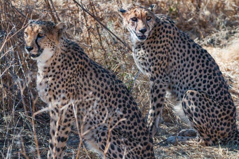 Due ghepardi stanno sedendo nella tonalità di un albero fotografia stock