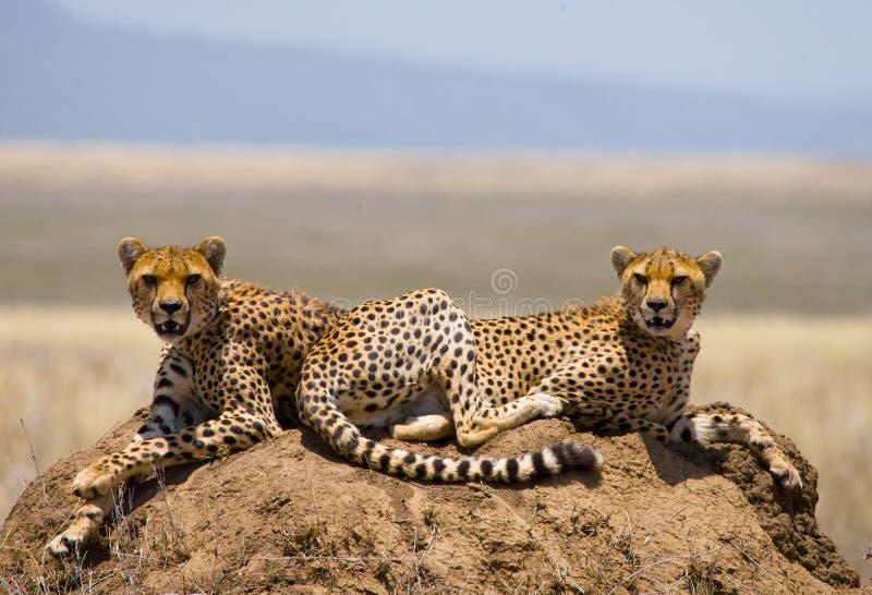 Due ghepardi sulla collina nella savana kenya tanzania l'africa Sosta nazionale serengeti Maasai Mara fotografia stock libera da diritti