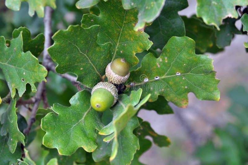Due ghiande verdi (noci della quercia) fotografia stock