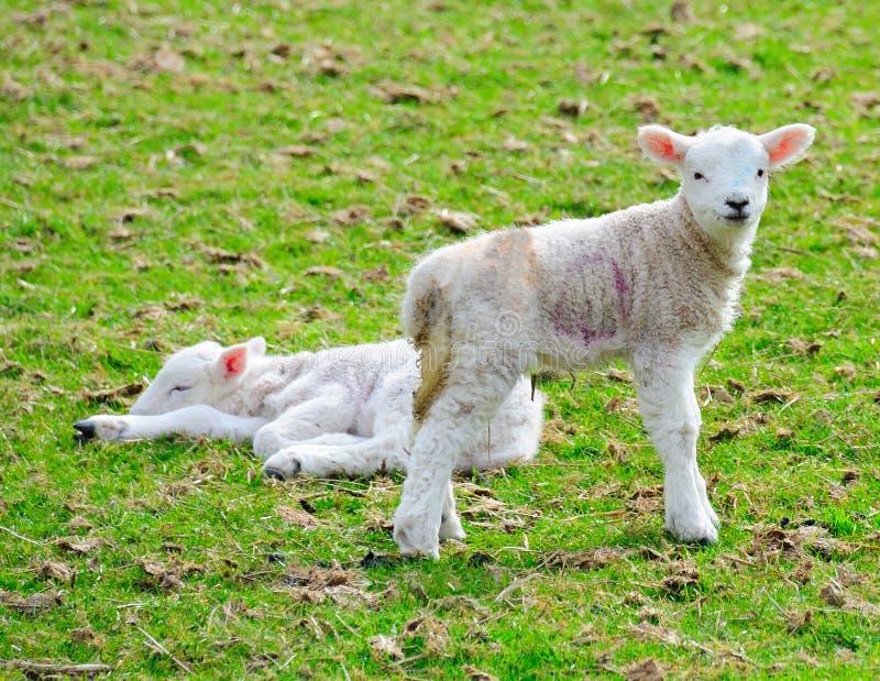 Due giovani agnelli immagini stock