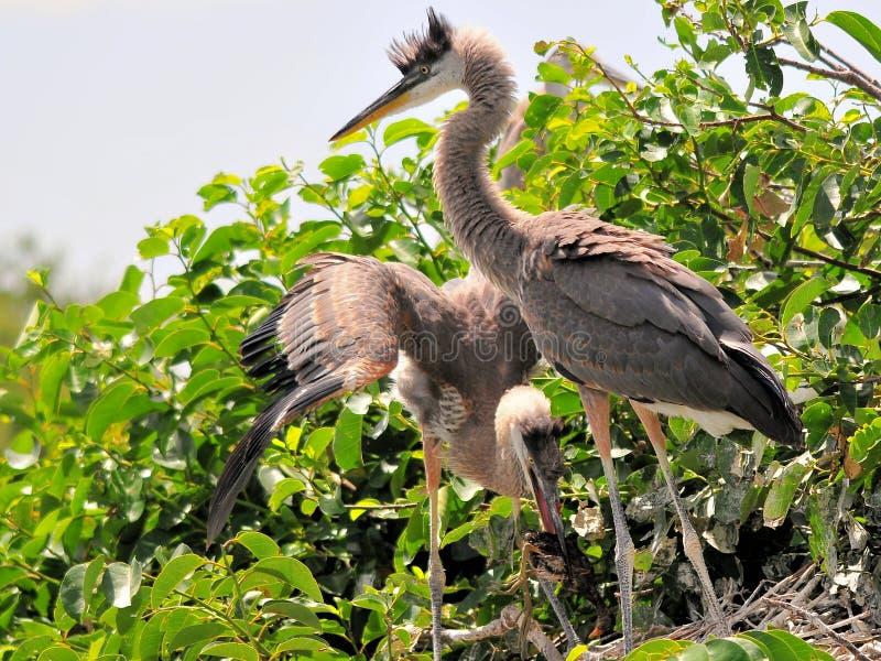 Due giovani aironi di grande blu con il piccolo uccello immagine stock libera da diritti