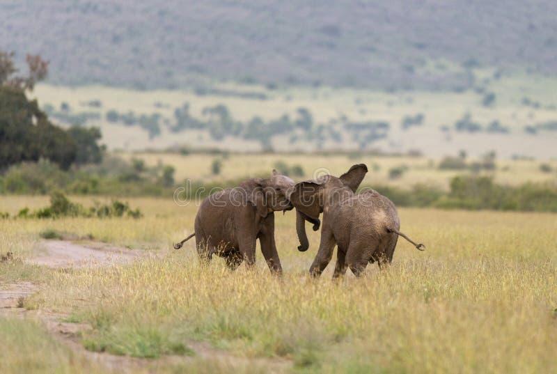 Due giovani elefanti che combattono ai masai Mara Game Reserve, Kenya fotografia stock