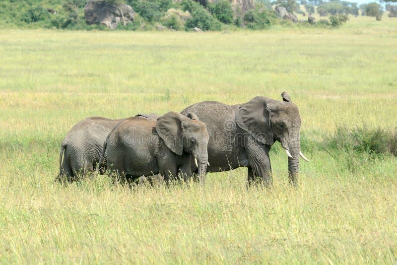 Due giovani elefanti di Bush dell'Africano che si alimentano nella savana fotografia stock libera da diritti