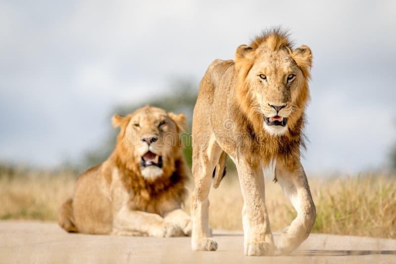 Due giovani fratelli maschii del leone in Kruger immagine stock