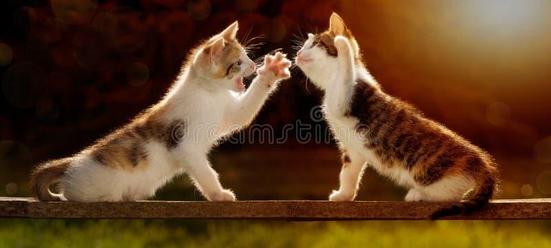 Due giovani gatti che giocano su un bordo di legno contro la luce, anche fotografia stock