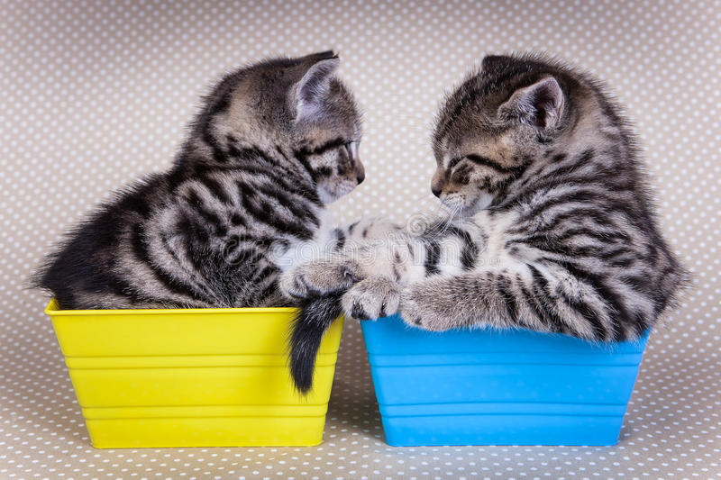 Due giovani gattini che se esaminano mentre in vassoi fotografie stock