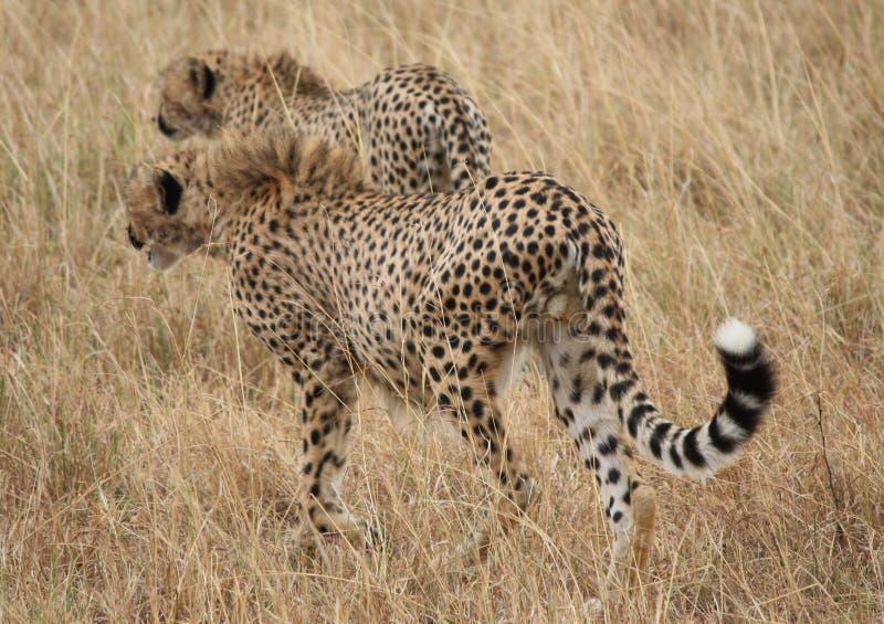 Due giovani ghepardi fotografia stock