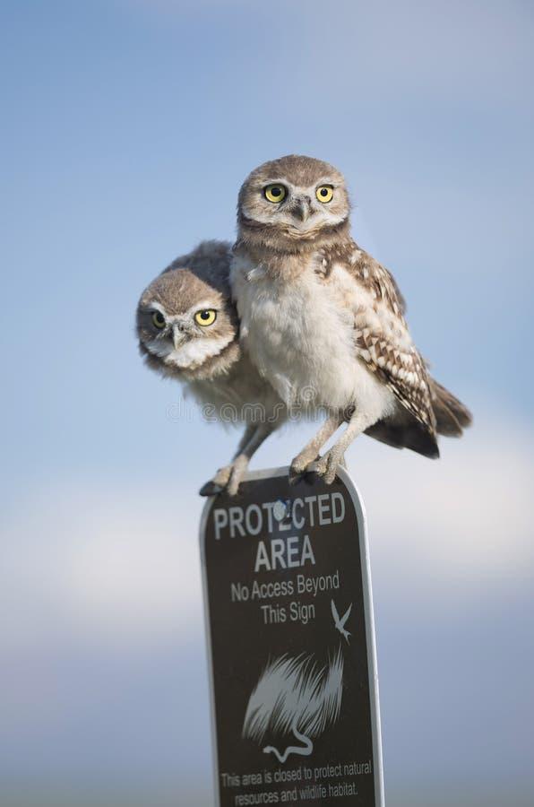 Due giovani gufi burrowing giovanili appollaiati in cima ad un segno di zona protetta fotografie stock libere da diritti