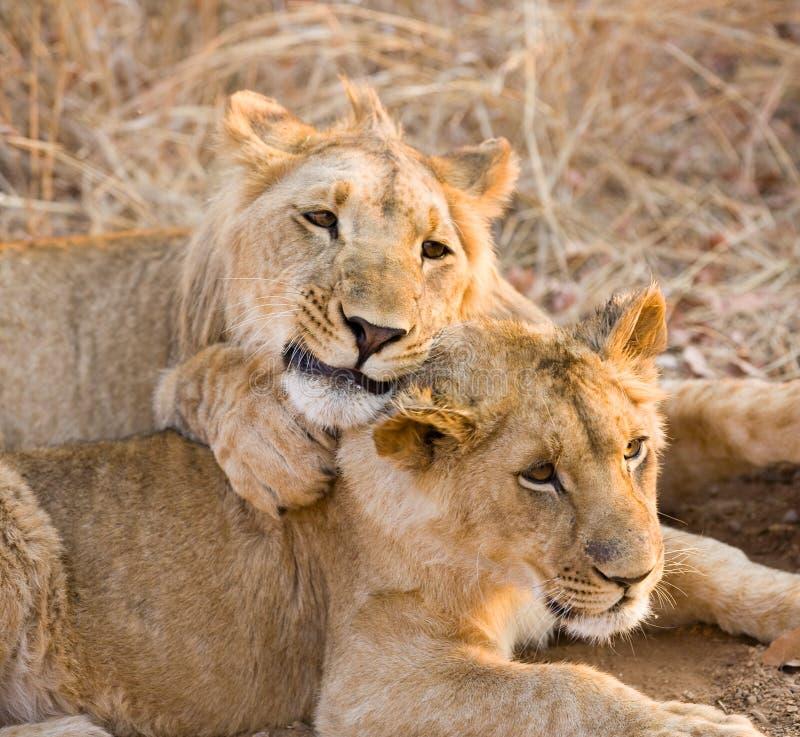 Due giovani leoni fotografie stock