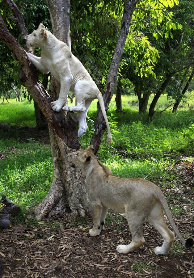 Due giovani leoni fotografia stock