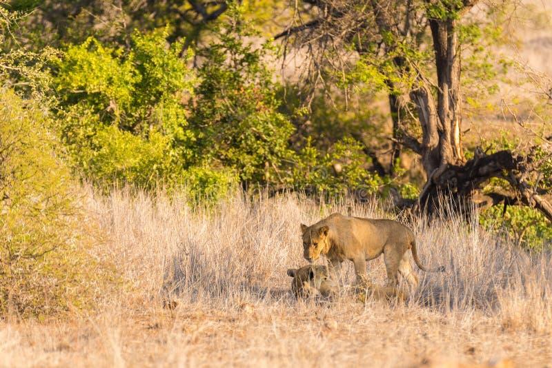 Due giovani leoni maschii che si riposano sulla terra nel cespuglio Safari nel parco nazionale di Kruger, attrazione turistica pr fotografie stock libere da diritti