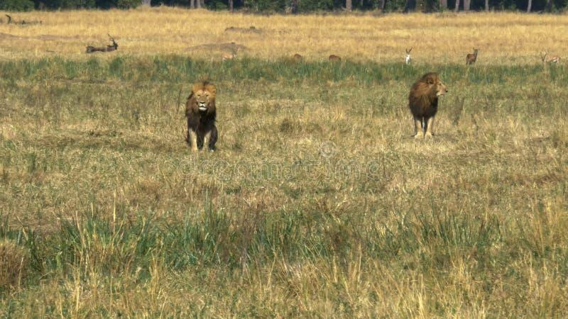 Due giovani leoni maschii nella coalizione guardare un rivale in masai Mara immagine stock
