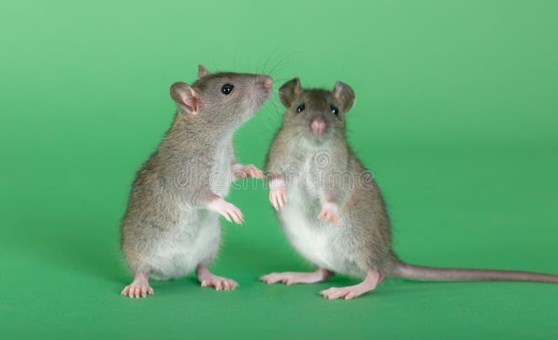 Due giovani ratti fotografia stock