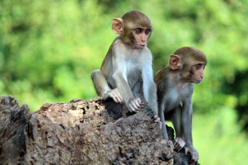 Due giovani scimmie che si siedono sulla roccia, mulatta-PS del Macaca, Haidarabad, Telangana, India immagine stock libera da diritti