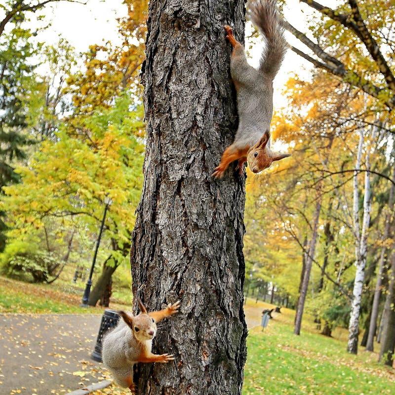 Due giovani scoiattoli stanno giocando su un albero in un parco della città Scoiattolo ordinario immagine stock