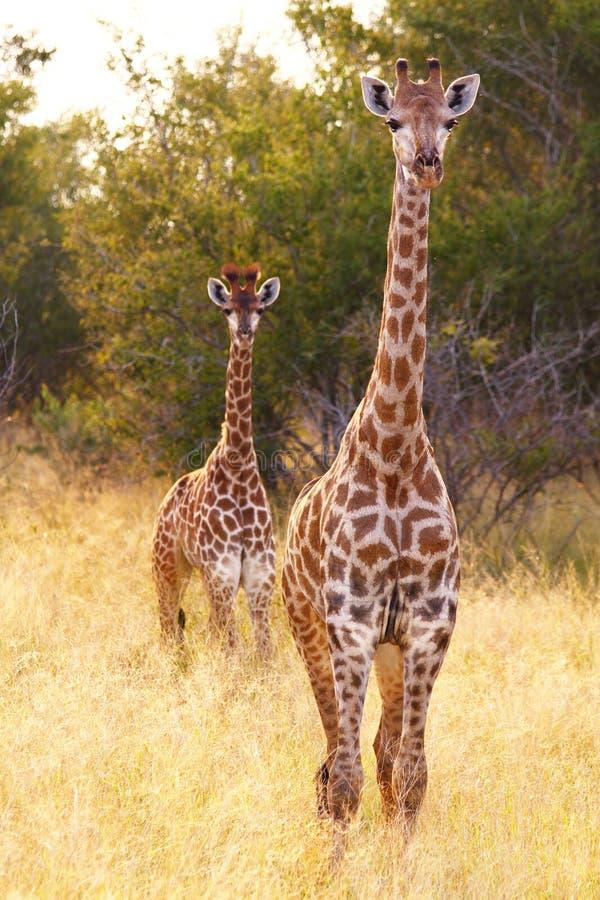 Due giraffe fotografia stock libera da diritti