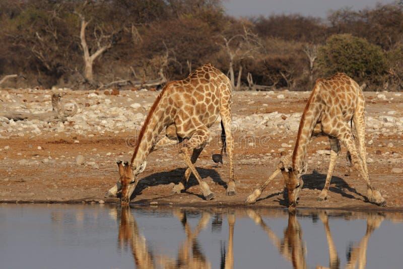 Due giraffe immagine stock libera da diritti