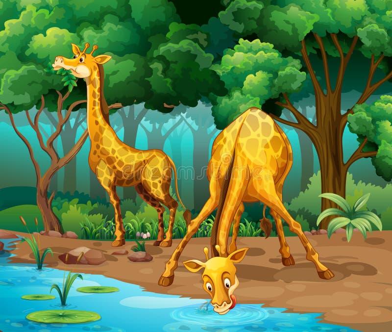 Due giraffe che vivono nella foresta illustrazione vettoriale