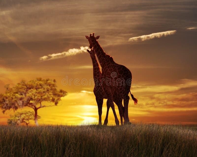 Due giraffe al tramonto immagine stock