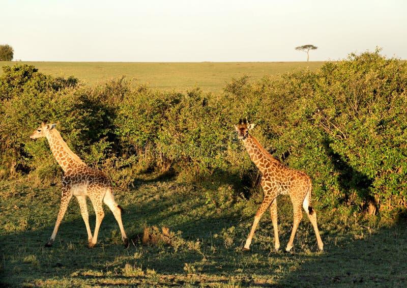 Due giraffe del bambino che waling lungo i cespugli durante il tramonto fotografia stock