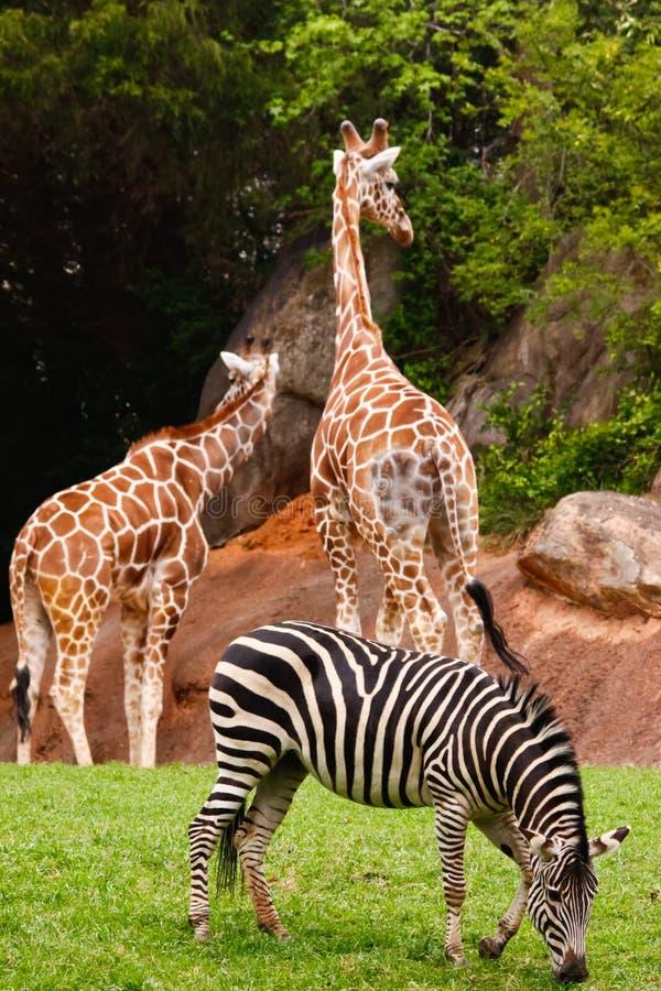 Due giraffe e una zebra fotografia stock libera da diritti