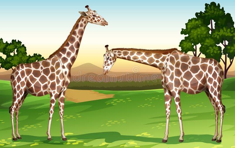 Due giraffe nel campo illustrazione vettoriale